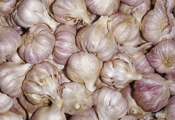 Чеснок Garlic Purple Moldovan