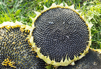 Подсолнечник Sunflower Mongolian Giant