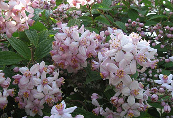 Дейция Deutzia Mont Rose