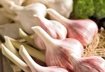 Чеснок Garlic Inchelium Red
