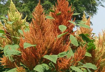 Амарант Amaranthus Orange giant
