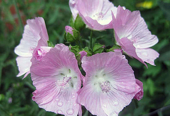 Мальва Alcea Pink Tower