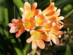 Фрезия Freesia Royal Gold