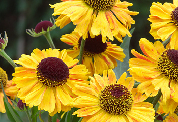 Гелениум Helenium Septembersonne