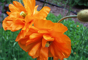 Мак Papaver Double Orange