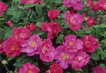 Роза Rosa Officinalis (Apotecary Rose)