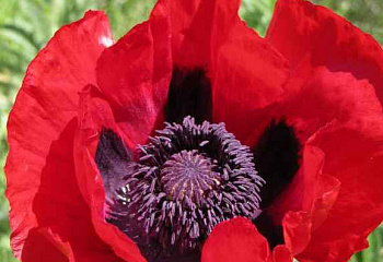 Мак Papaver Doubloon