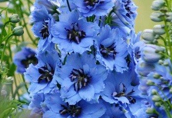 Дельфиниум Delphinium Delphi's Secret