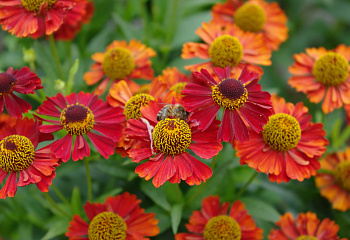 Гелениум Helenium Ruby Tuesday