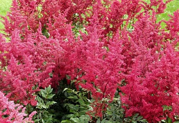 Астильба Astilbe Spinell