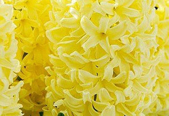Гиацинт Hyacinthus Yellow Queen