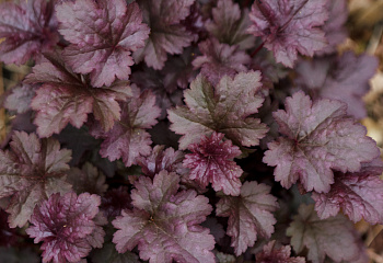 Гейхера  Heuchera Dark Mystery