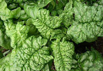 Шпинат Spinach Bloomsdale Long Standing