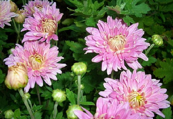 Хризантема Chrysanthemum Youth