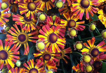 Гелениум Helenium UFO Betty