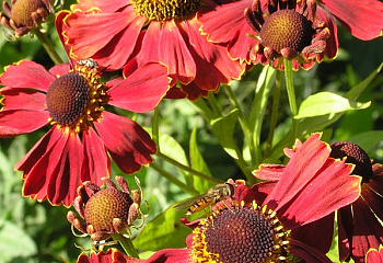 Гелениум Helenium Potter's Wheel