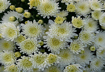 Хризантема Chrysanthemum Umka
