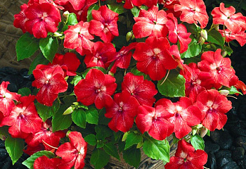 Бальзамин  Impatiens Mosaic Red