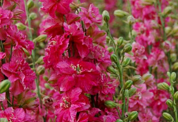 Дельфиниум Delphinium Stiletta Rosy Red