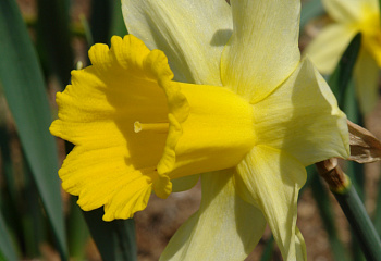 Нарцисс Narcissus Queen of Bicolor