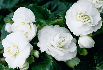 Бегония Begonia Double White