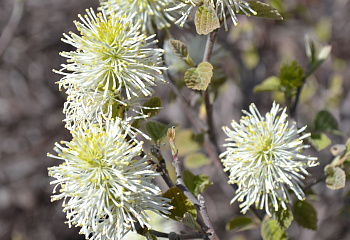 Фотергилла Fothergilla Bill's True Dwarf