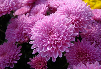 Хризантема Chrysanthemum Deniska