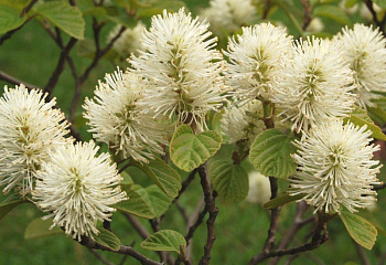 Фотергилла Fothergilla May Bouquet