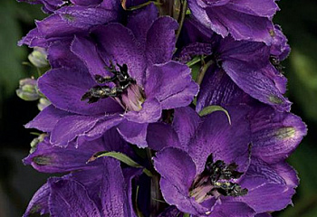 Дельфиниум Delphinium Dark Blue Dark Bee