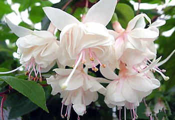 Фуксия Fuchsia White General