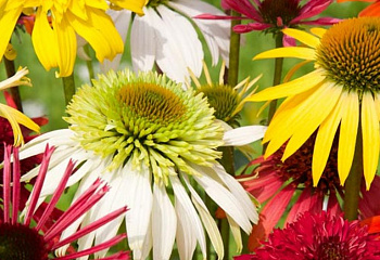 Эхинацея Echinacea Color Showtime