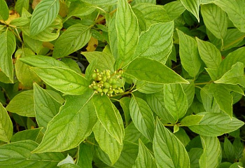 Дерен Cornus Magic Flame