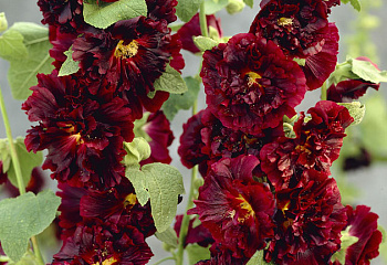 Мальва Alcea Blackberry Sorbet